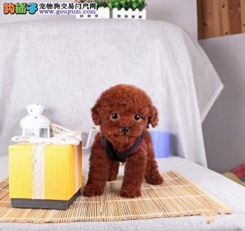 顶级优秀的纯种深圳茶杯犬热销中终身售后保障