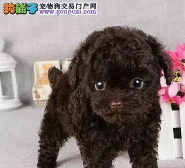 出售颜色齐全身体健康泰迪犬全国质保全国送货