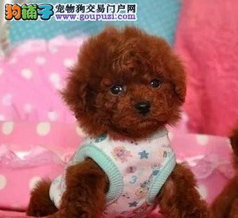 泰迪犬甘南州CKU认证犬舍自繁自销最优秀的售后