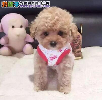 信誉犬舍出售韩系哈尔滨泰迪犬 公母都有颜色多样