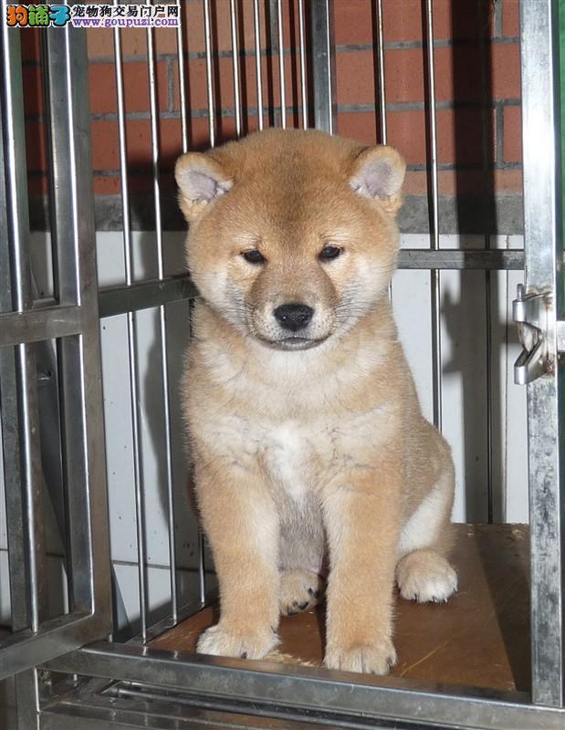 纯日本引进高端柴犬宝宝 包健康