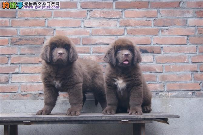 顶级优秀的纯种湖州纽芬兰犬热销中冠军级血统品质保障