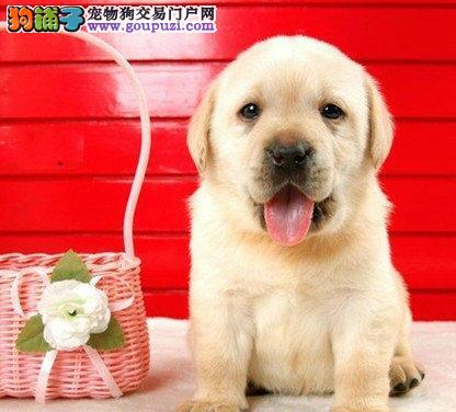 养殖场出售高品质宁波拉布拉多犬可签订活体