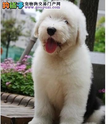 高品质白头古幼犬宝宝,公母都有,两个多月了,血统纯正