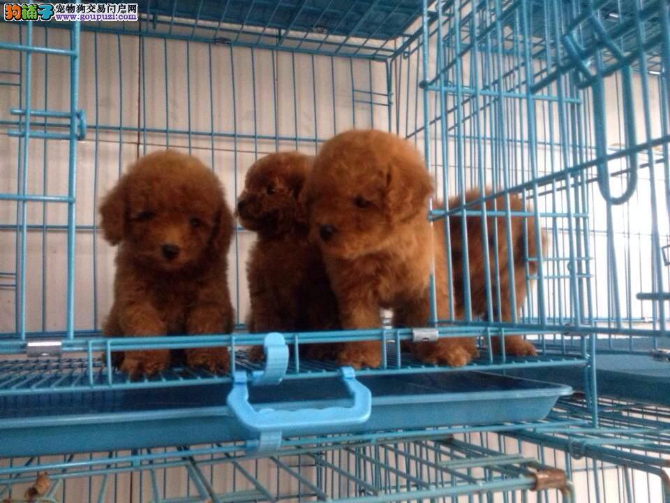 松江区纯种贵宾犬繁殖基地价格照片哪里买