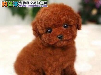 乌鲁木齐常年出售纯种健康的小玩具泰迪熊 随时可看狗