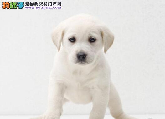 杭州出售纯种拉布拉多单猎犬 导盲犬黑 白 黄 巧克力