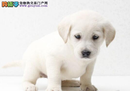 正规犬舍出售本溪纯种拉布拉多犬 购买有保障 售后好