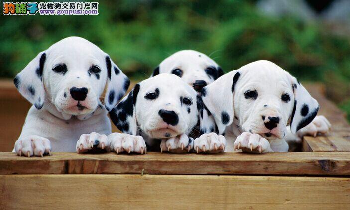 大麦町斑点狗出售 疫苗齐全可上门挑选包纯健康