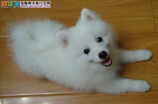 实体店低价促销赛级银狐犬幼犬价格低廉品质高