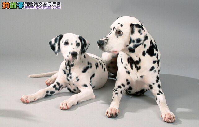 自家繁育的纯种斑点狗幼犬找新家