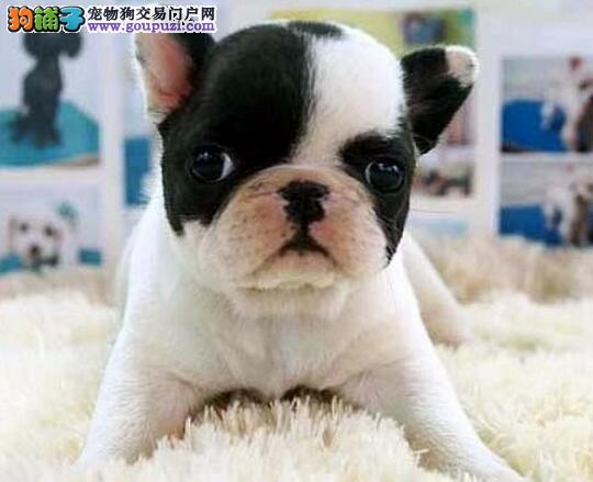 直销法国斗牛犬幼犬,三针齐全保健康,寻找它的主人