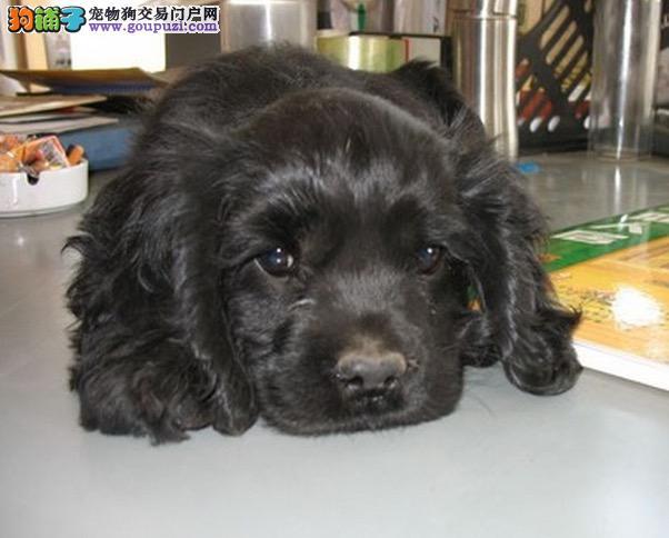 出售纯种可卡幼犬宝宝 可爱健康 质量保证