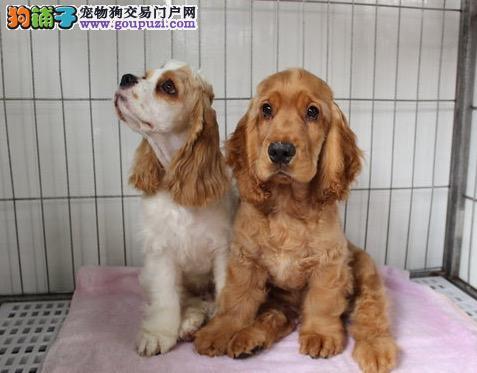价格可优惠  家养纯种可卡幼犬出售毛色好疫苗已做
