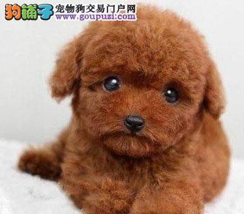 低价转让韩系血统武汉泰迪犬 可视频看狗可包邮