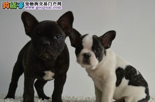 完美品相血统纯正常德法国斗牛犬出售CKU认证品质绝对保障