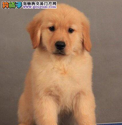 出售骨骼强壮大头版的苏州金毛幼犬 一分价钱一分货