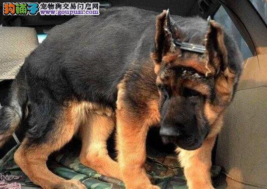 冠军级后代德国牧羊犬 品相血统一级棒 可签保障协议