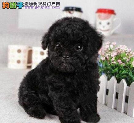 忍痛割爱出售包头泰迪犬 欢迎莅临犬舍参观看种犬