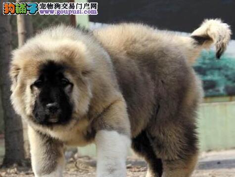 大骨架上海高加索犬低价转让 可签署终身质保协议