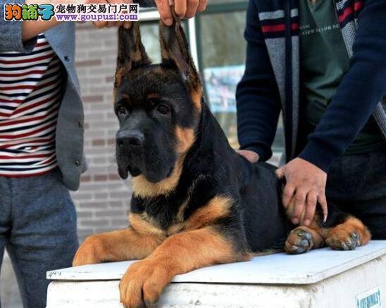 公母均有的天津德国牧羊犬找爸爸妈妈品质优良诚信为本