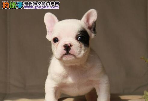 成都家养赛级法国斗牛犬宝宝品质纯正签订协议终身质保