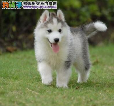 济南犬舍售哈士奇幼犬 高品质售后服务 欢迎上门挑选