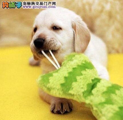 血统纯正极品拉布拉多幼犬 出售嘴宽骨量大健康拉布拉