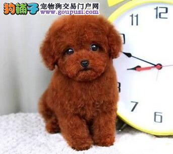 热销极品优秀泰迪犬 韩系血统成都附近地区可送上门