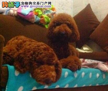 合肥正规狗场特价出售精品韩系贵宾犬有证书价格公道