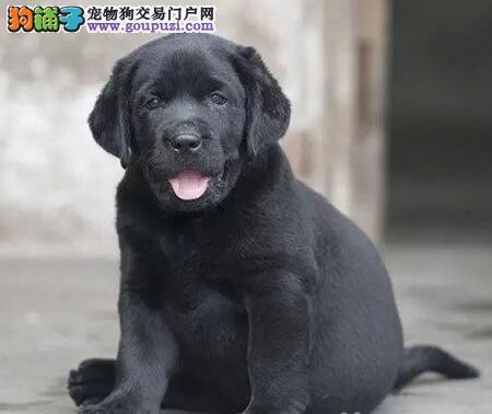 热卖品相极佳的台州拉布拉多犬 血统纯正赛级品质
