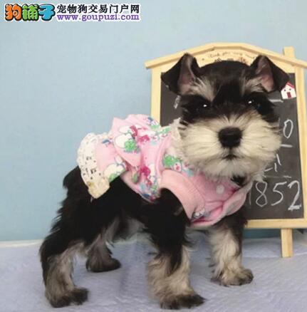 CKU犬舍认证出售高品质重庆雪纳瑞真实照片包纯
