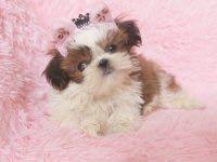 CKU犬舍认证南京出售纯种西施犬专业品质一流