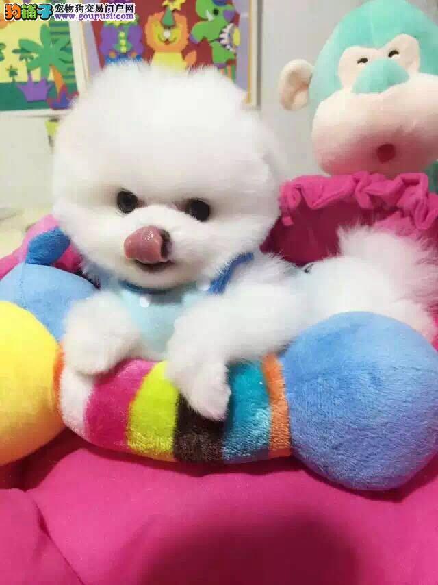 正规养殖基地出售纯种健康的球体博美幼犬