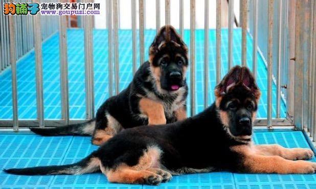 超级精品狼狗、国际血统品相好、讲诚信信誉好