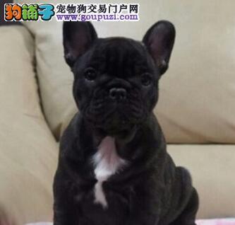 CKU犬舍认证银川出售纯种法国斗牛犬三针疫苗齐全