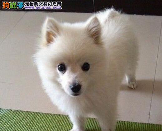 纯种银狐犬多少钱哪里有卖银狐幼犬银狐犬图片