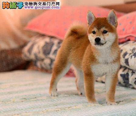 日本柴犬 2到3个月纯种日本柴犬 健康 保证