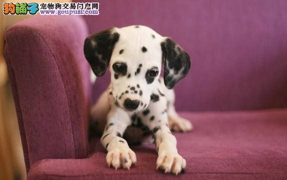 极品纯正的青岛斑点狗幼犬热销中期待来电咨询