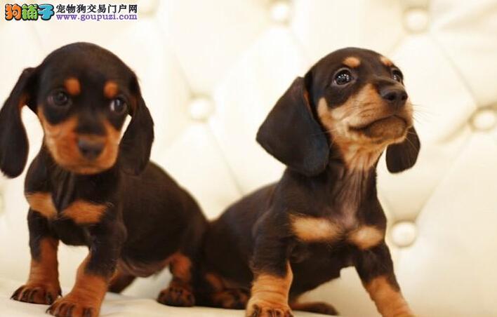 信誉保证 纯种腊肠幼犬出售 支持上门挑选