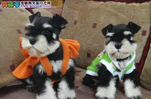 实体店低价促销赛级雪纳瑞幼犬价格低廉品质高