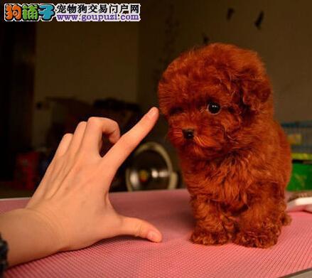 正规狗场犬舍直销茶杯犬幼犬提供护养指导