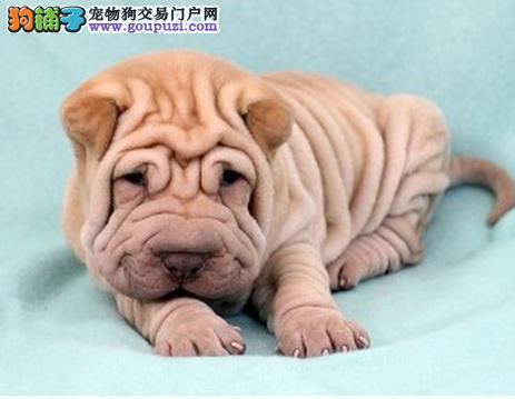 出售纯种健康的桂林沙皮狗幼犬欢迎爱狗人士上门选购