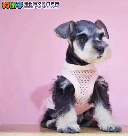 椒盐色深灰色的武汉雪纳瑞幼犬找新家 请大家放心选购