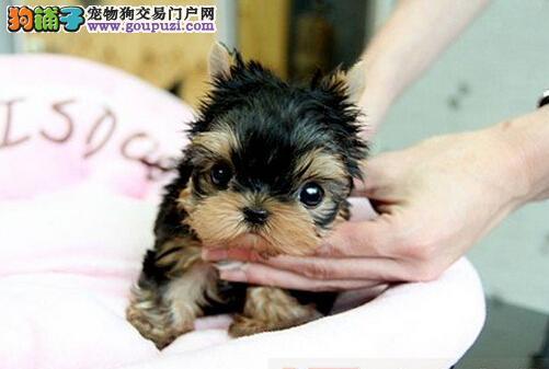 精品约克夏幼犬一对一视频服务买着放心微信看狗可见父母