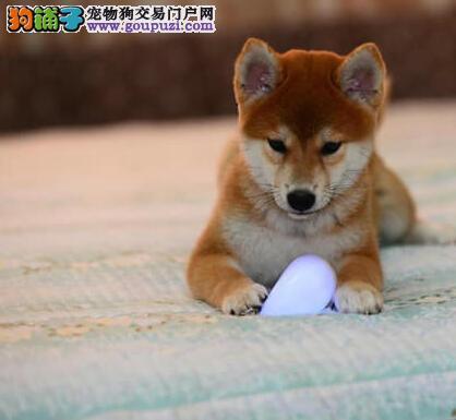 犬舍直销品种纯正健康汉中柴犬品质一流三包终身协议