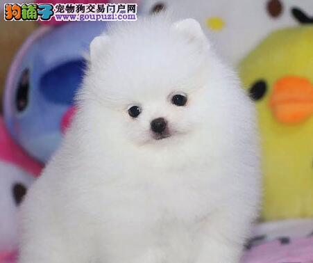 骨量毛色无可挑剔的台州博美犬找新家 保质保量包邮