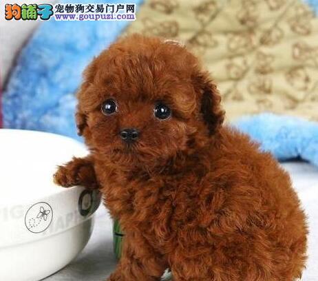 CKU犬舍认证天津出售纯种泰迪犬均有三证保障