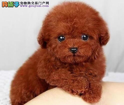 娃娃脸玩具泰迪克拉玛依找新家啦 专业狗场繁殖 保品质