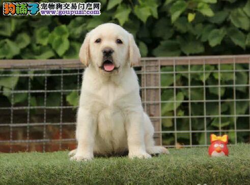 台州专业繁殖高品质拉布拉多犬 喜欢的朋友不要错过